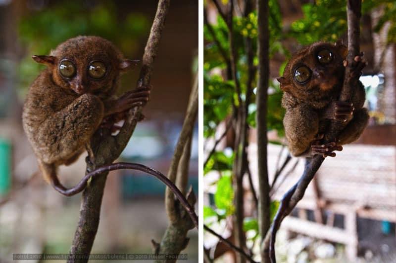 Philippine tarsier. Photo by Rolen Facundo (2010)