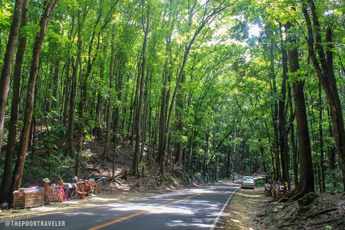 Bohol Man-made Forest in Bilar and Loboc