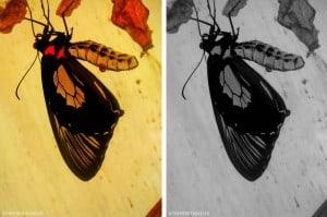 palawan butterfly