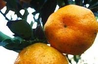 Orange Picking at Rock Inn