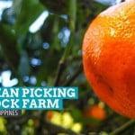 Orange Picking at Rock Farm, Sagada (Updated Rates: 2016)