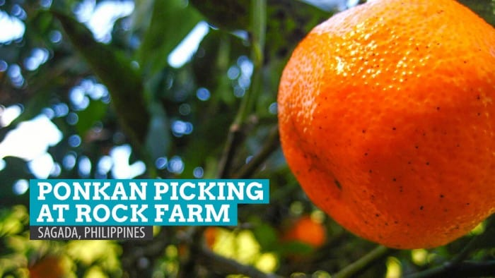 Orange Picking at Rock Farm, Sagada