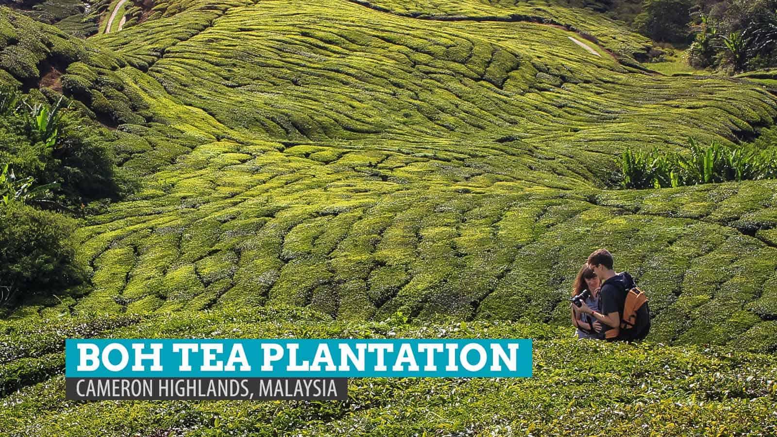 BOH Tea Plantation: My Cup of Tea in Cameron Highlands, Malaysia