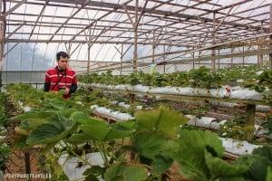 Raju Hill Strawberry Farm, Cameron Highlands