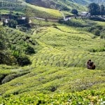 BOH Tea Plantation in Cameron Highlands, Malaysia
