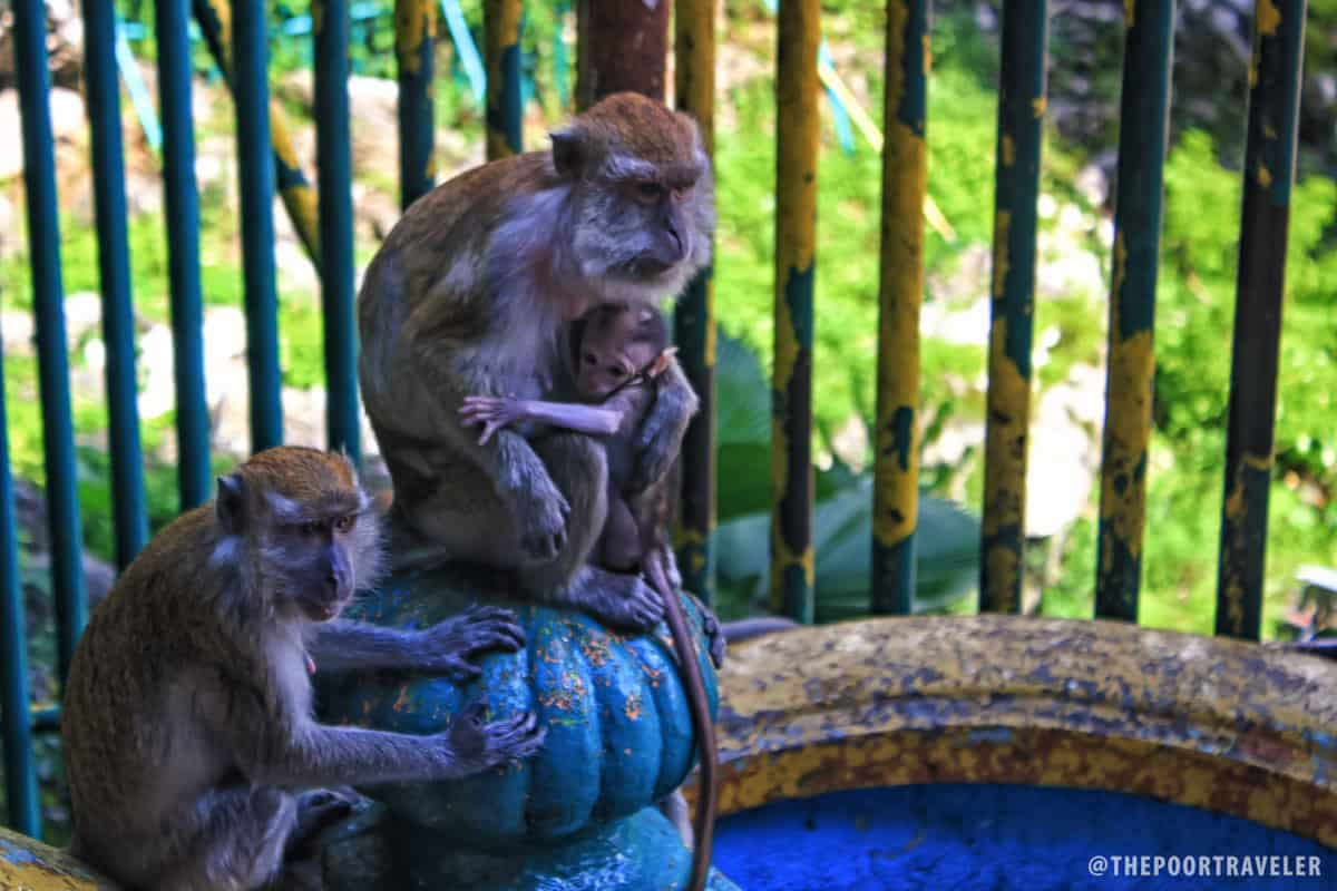 Long-tailed macaque monkeys playing around at the stairs