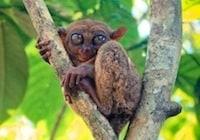 philippine tarsier