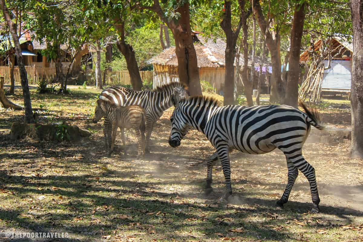 More zebras! The males have darker stripes.