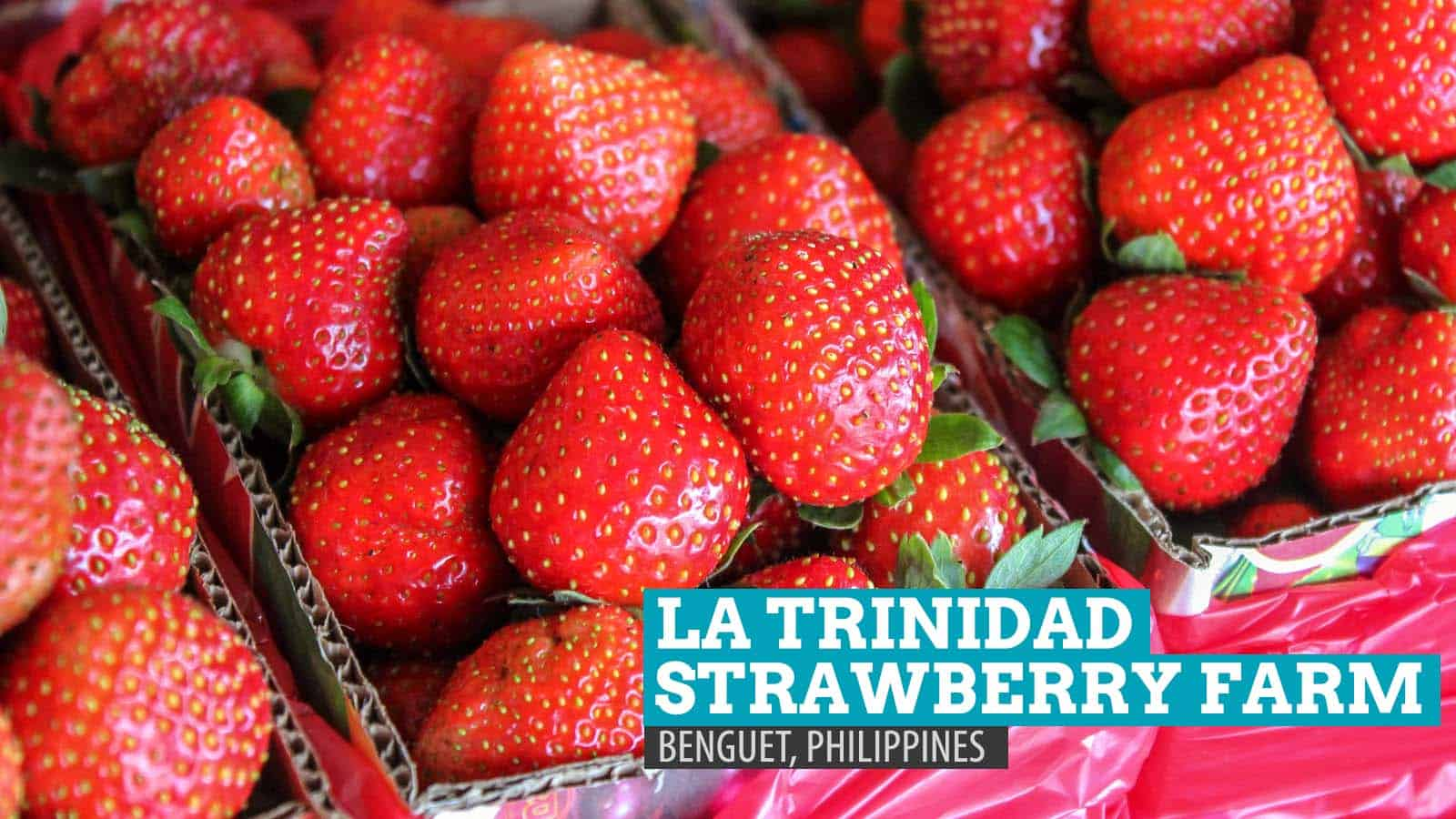 La Trinidad Strawberry Farm: Heart-shaped Madness in Benguet, Philippines
