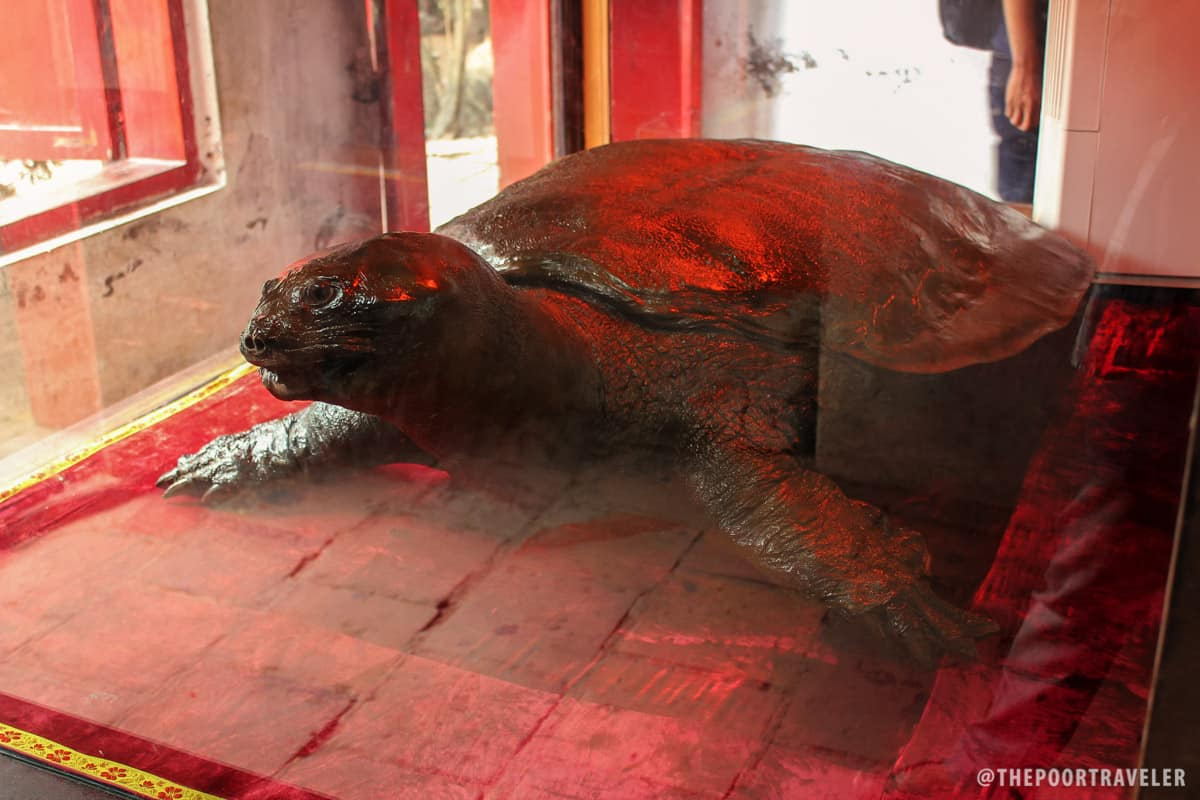 A 250-kg giant turtle caught in the 1960s. It was said to be 500 years old when caught.