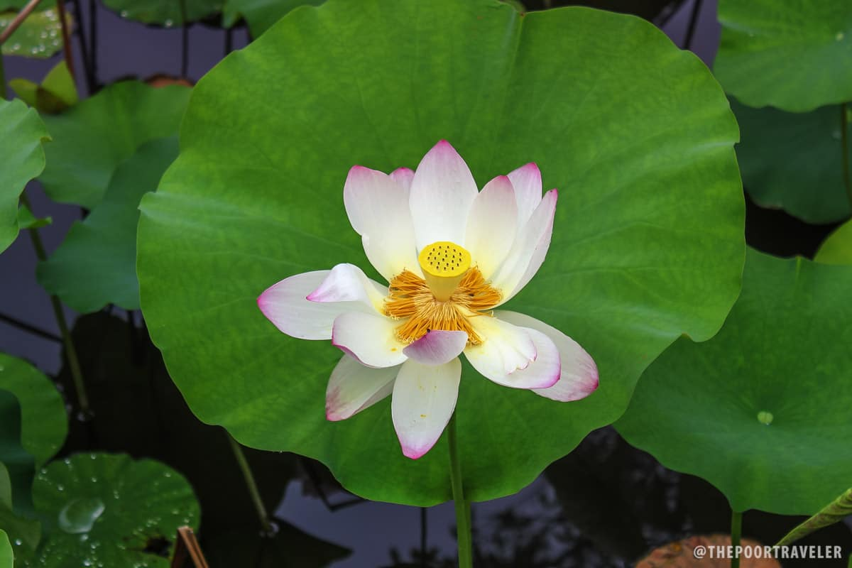 Lotus flower blooming on a pond on the way to Tenryuji Temple