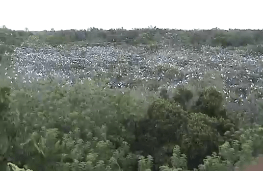 This is a screencap from a video about the sanctuary (you can watch it below). See the white dots on top of the trees? They're all birds.