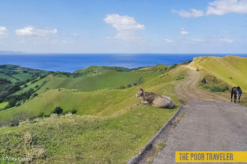Vayang Rolling Hills is a favorite grazing spot for many animals including cows and goats.