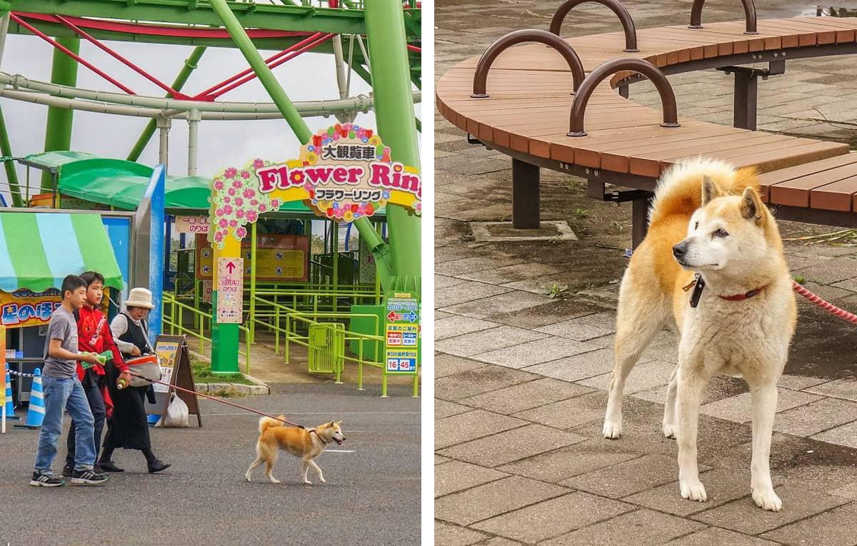 A family walking their cute akita dog.