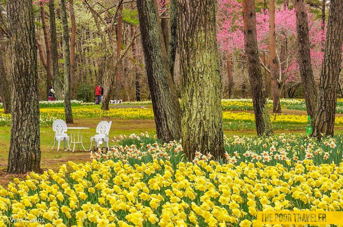 Daffodils are the stars of early spring here at Hitachi Seaside Park. Until the baby blue eyes blossom.