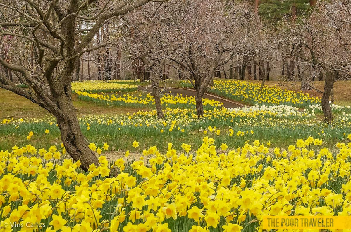 The Suisen Fantasy Garden boasts daffodils and other narcissuses.