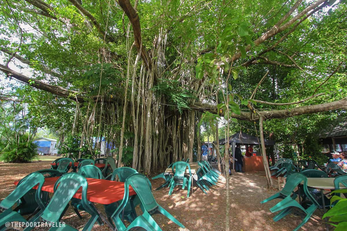 A banyan tree next to a cafe in Batchelor