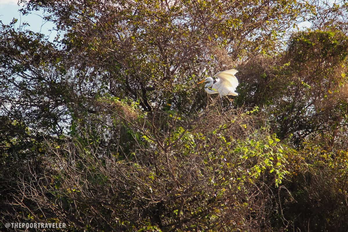 I'm not sure if this is a Great Egret or an Intermediate Egret.