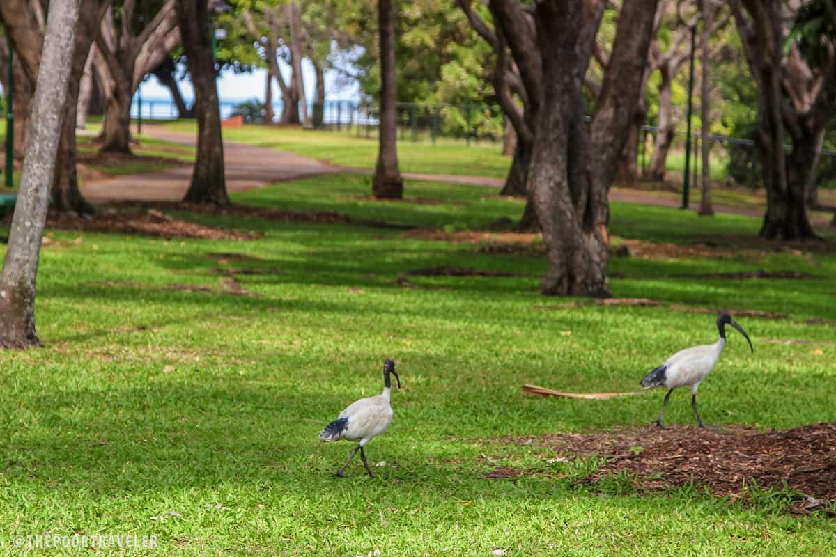 Ibis birds walking around the park