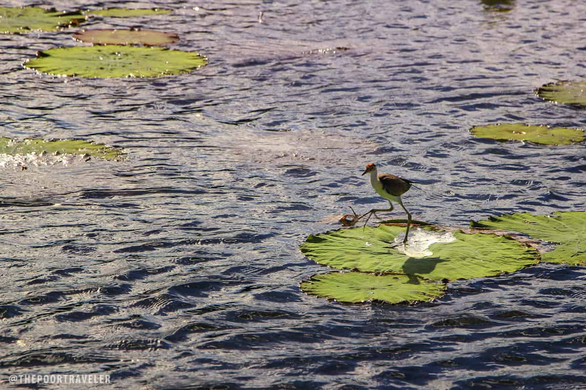 The Comb-crested Jacana is known by many names. Some call it Lotusbird for it is often seen walking on lotus leaves. Some call it Lilytrotter, for it is often seen hopping from one lily to another. But my favorite is probably Jesus Bird, for it appears to walk on water.