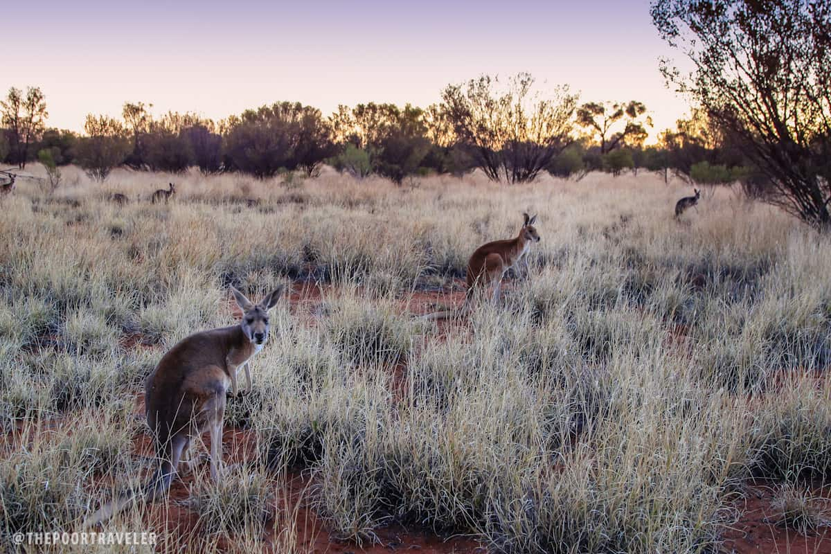 Kangaroos are nocturnal animals. They wake up around twilight.