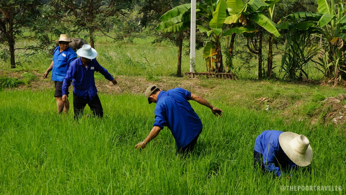 Sampran Riverside - Organic Farming