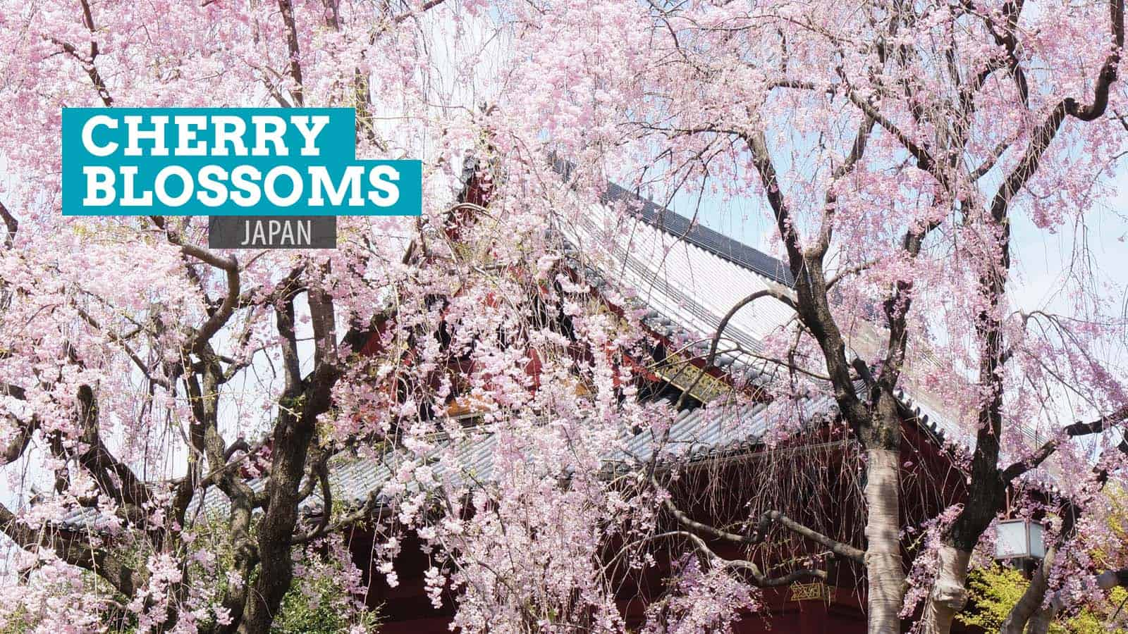 10 Photos of Cherry Blossoms in Japan The Poor Traveler Blog
