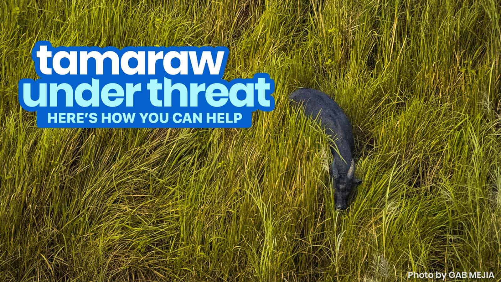 THE TAMARAW IS UNDER THREAT: Here's How We Can Help Save Them